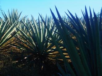 Los cultivos agaveros de don Macario, estos son agaves «limeños»